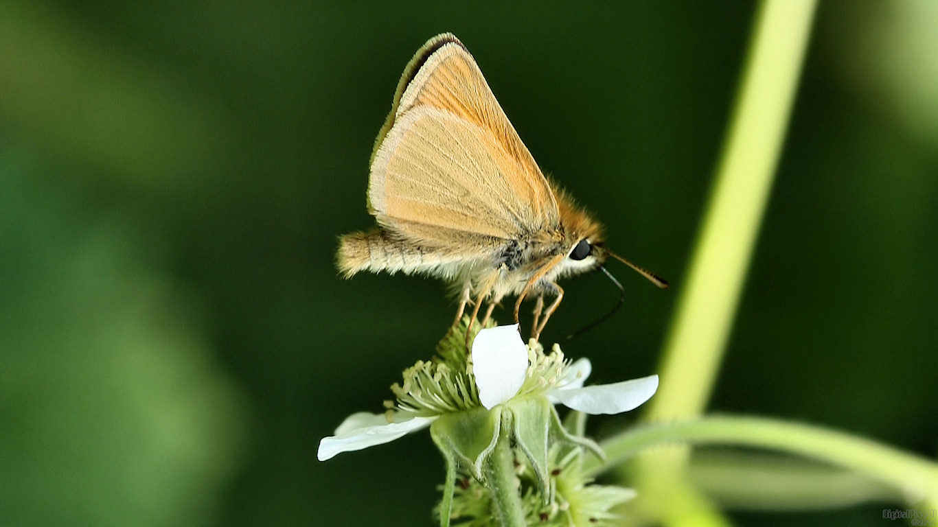 Furry Skipper