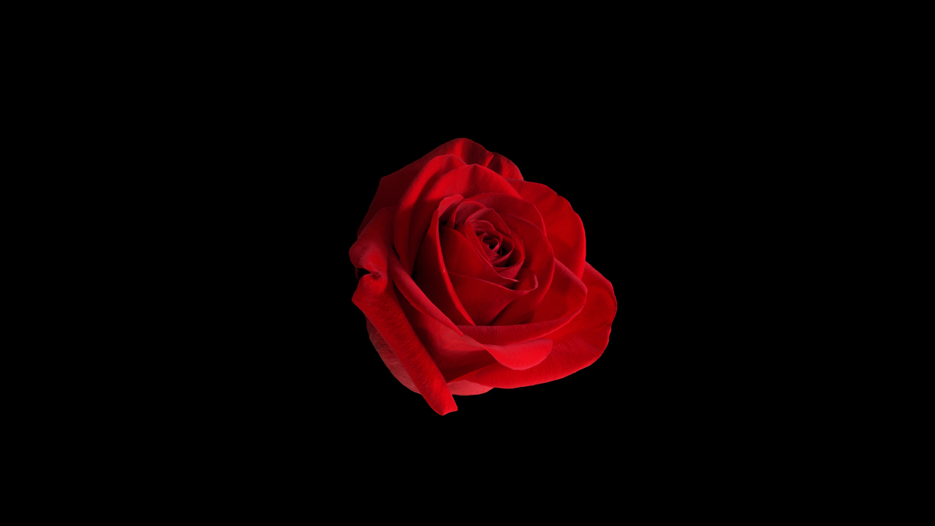 Red Rose Wallpaper 1920 X 1080