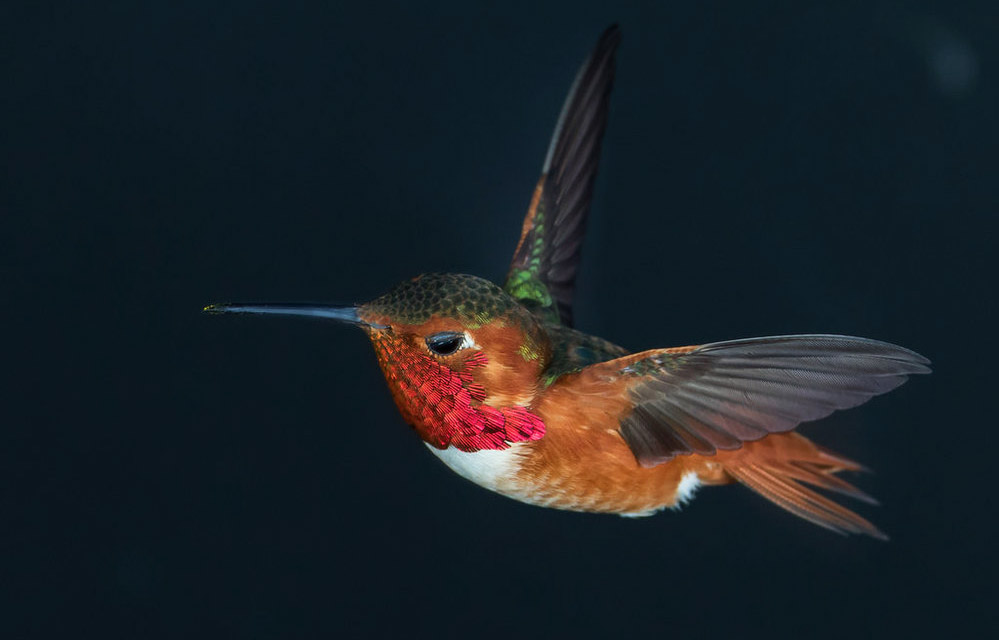 Stock male allen's hummingbird