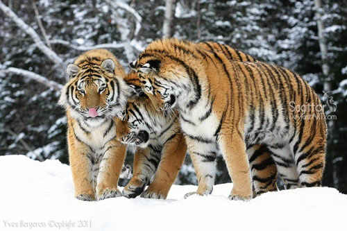 The Three Tigers