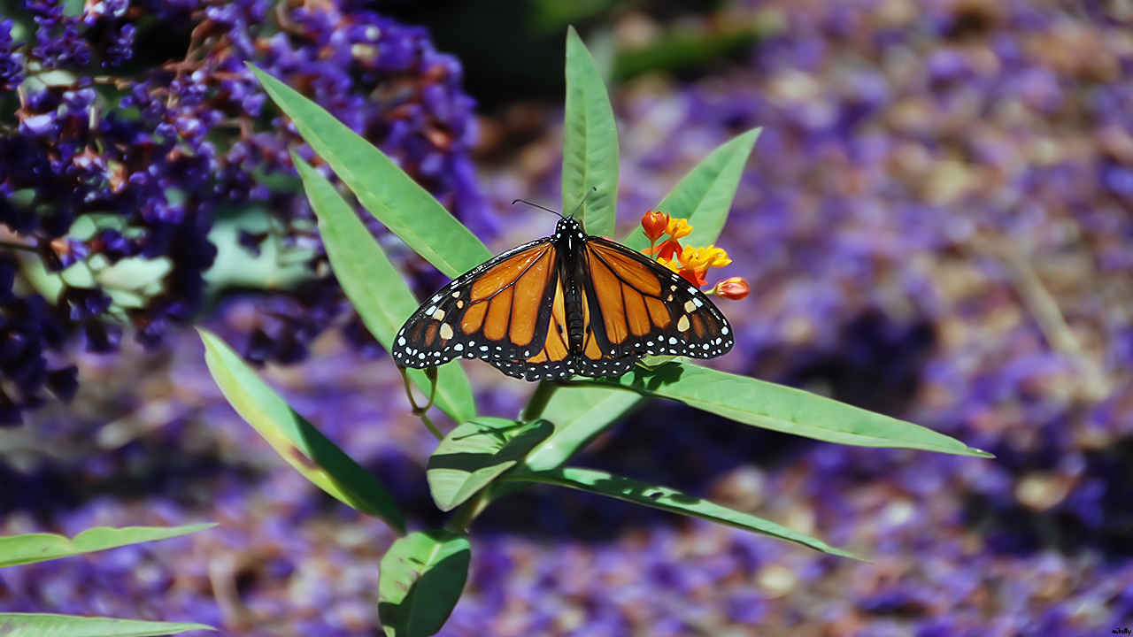 Monarch at rest